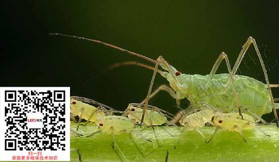 玉米蚜虫危害以及玉米蚜虫防治用药