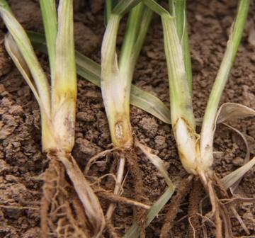 小麦纹枯病防治,哪些办法好?