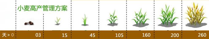 小麦高产管理方案